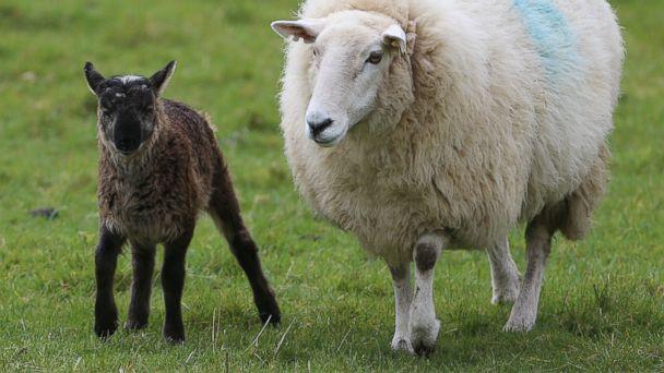 AP irish sheep goat jtm 140408 16x9 608 Meet the Geep, a Goat Sheep Hybrid Born in Ireland