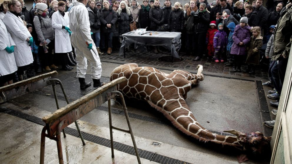PHOTO: Marius, a male giraffe, lies dead before being dissected, after he was put down at Copenhagen Zoo on Sunday, Feb. 9, 2014.