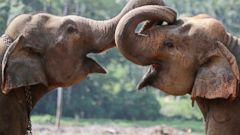 PHOTO: Two elephant calves play at an elephant orphanage in Pinnawala, about 45 kilometers northeast of Colombo, Sri Lanka, April 16, 2014.