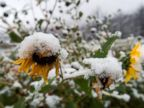 PHOTO: Snow covers flowers during the first snow of the season, Sept. 12, 2014 in Colorado Springs, Colo.