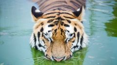 PHOTO: A Siberian tiger cools itself in the pool of its enclosure in the Gyongyos Zoo in Budapest, Hungary, June 24, 2016.