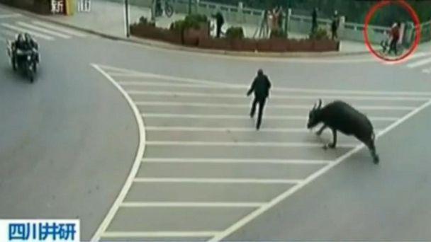 CCTV buffalo kab 141126 16x9 608 Rampaging Water Buffalo Attacks Biker, Pedestrians and Cars