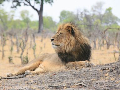PHOTO: Cecil the lion is seen here in this October 2013 file photo.