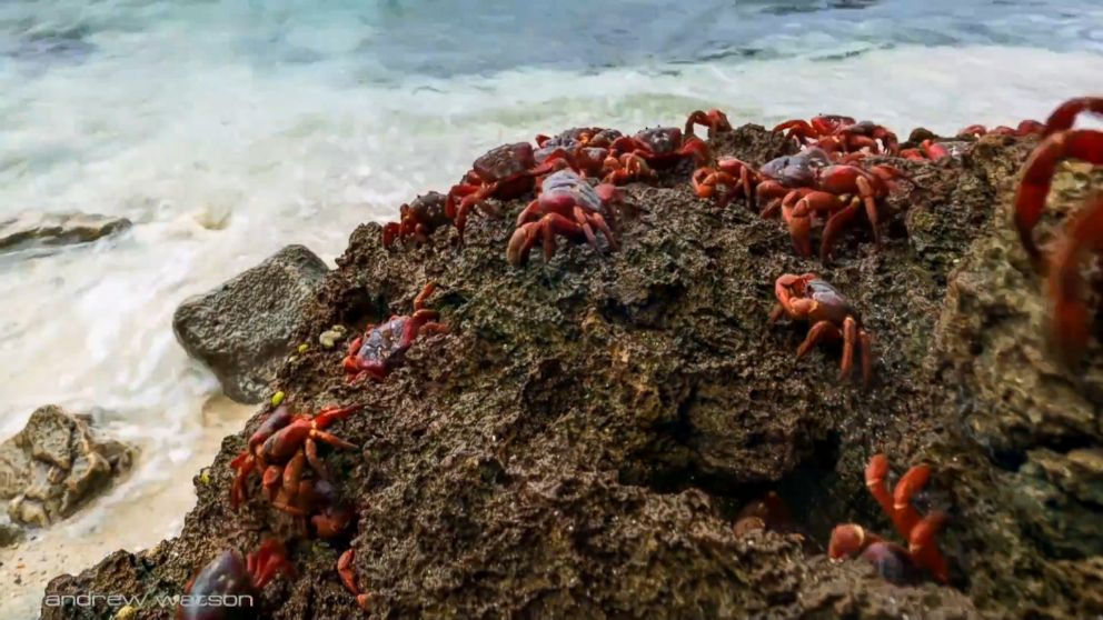 red crabs of christmas island Each year, christmas island, a remote australian island in the indian ocean, is overrun by bright red crabs forty million fire engine-colored.