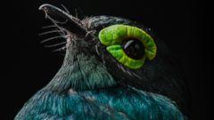 Paradise found: Rare and elusive birds of Bioko Island