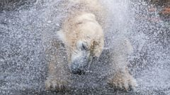 PHOTO: Vilma the polar bear in her enclosure at the zoo in Rostock, Germany, Oct. 12, 2016.