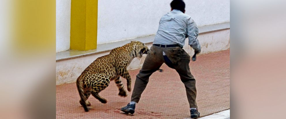 PHOTO: A leopard is shown attacking a forest official at a school in Bangalore, India on Feb. 7, 2016.