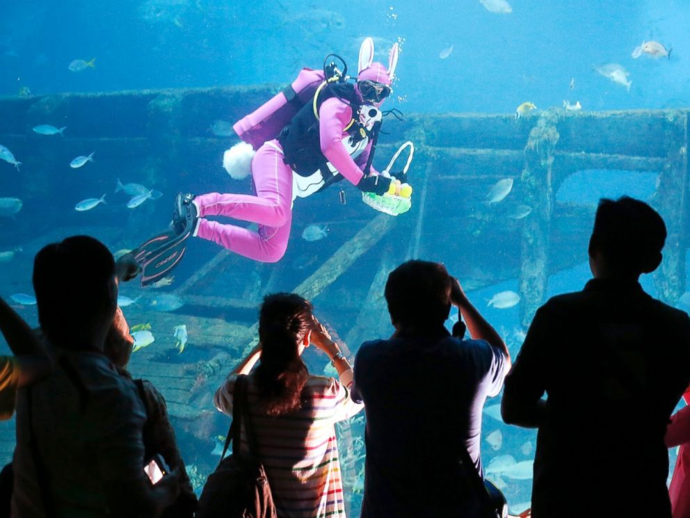PHOTO: Visitors watch a diver, dressed as an Easter Bunny, swim in the Shipwreck habitat in the Resorts World Sentosas Southeast Asia (S.E.A) Aquarium in Sentosa, Singapore, April 17, 2014.