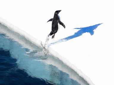 PHOTO: An Adelie penguin jumps onto the ice in the Ross Sea in Antarctica. The worlds largest marine reserve aimed at protecting the pristine wilderness of Antarctica will be created after a momentous agreement was finally reached, Oct. 28, 2016.