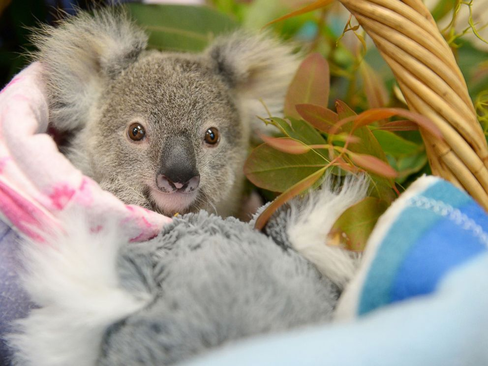 Lonely Baby Koala Finds Comfort in Plush Toy After Losing ...