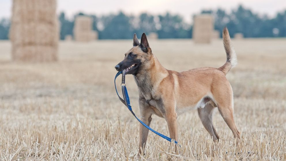 Leighton is a Belgian Malinois like the dog shown in the above undated file photo.