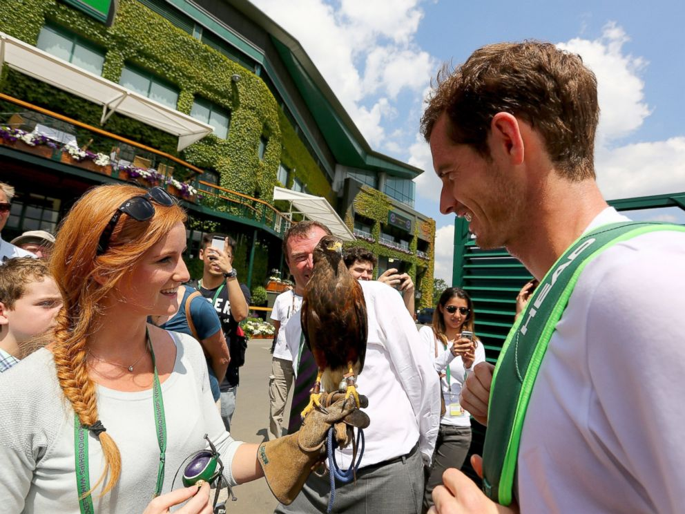 PHOOT: Andy Murray of Great Britain is shown Rufus a Harris hawk, Rufus is used to scare away pigeons at Wimbledon, June 21, 2014, in London.