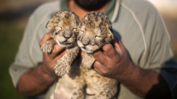 GTY baby lion cubs jef 131121 16x9 608 Days Old Lion Cubs in Gaza Strip Have Died