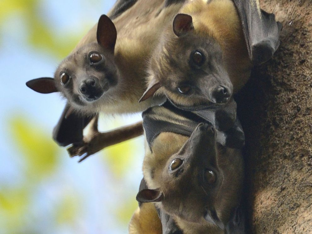 PHOTO: Fruit bats (like these) are a local delicacy in Guinea, but health officials fear that their infected blood may be causing the spread of Ebola.