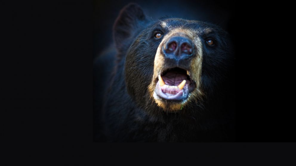 PHOTO: An american black bear lets out a roar.