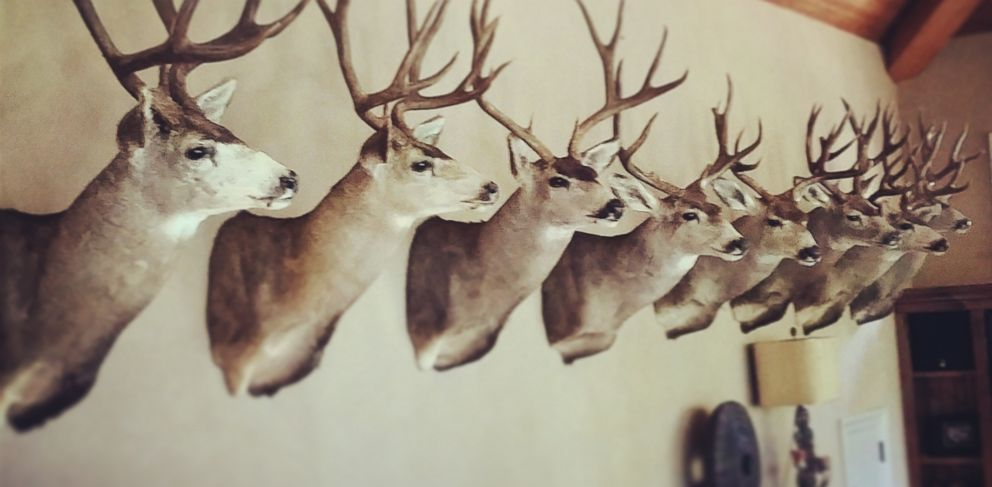PHOTO: Deer heads are pictured on a wall in this stock photo.