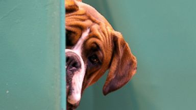 PHOTO: A Boxer dog looks out from its kennel on the first day of Crufts dog show at the NEC, March 6, 2014, in Birmingham, England.