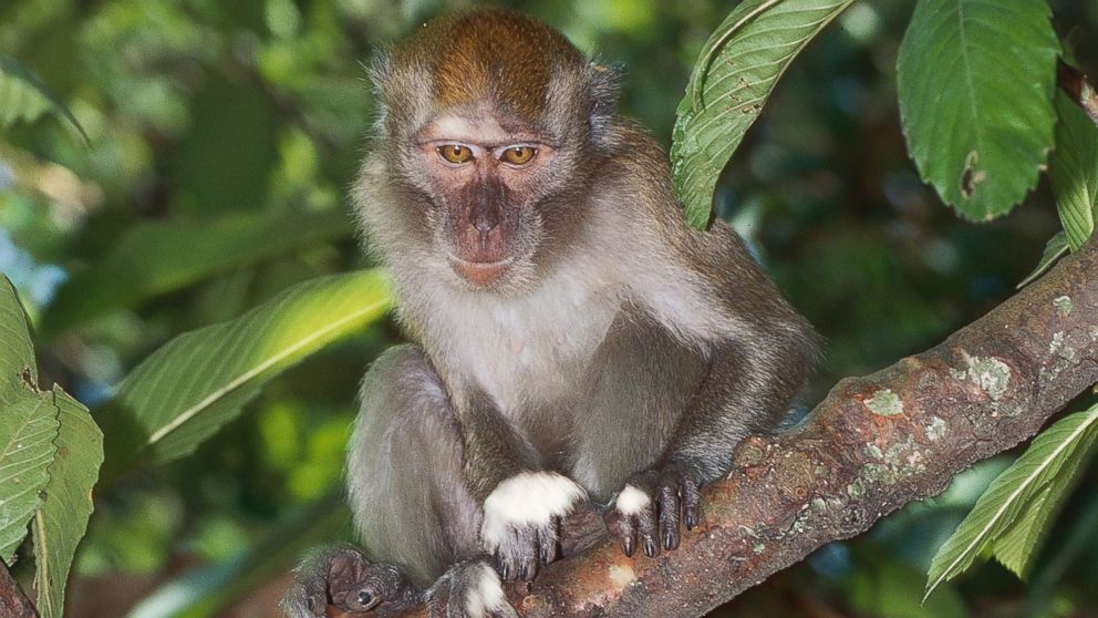 PHOTO: A crab-eating macaque, a species connected to one of the five strands of Ebola, is pictured on Indonesias Bali Island on March 3, 2014.