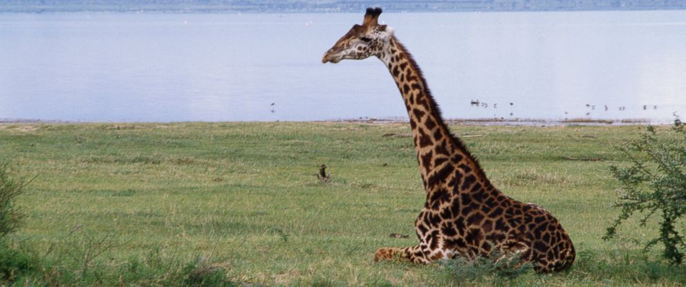 PHOTO: A giraffe is pictured in the wild on March 3, 2014.