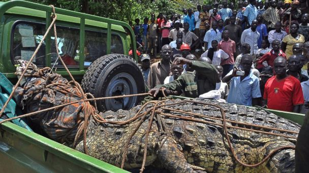 1-Ton, Man-Eating Crocodile Caught in Uganda
