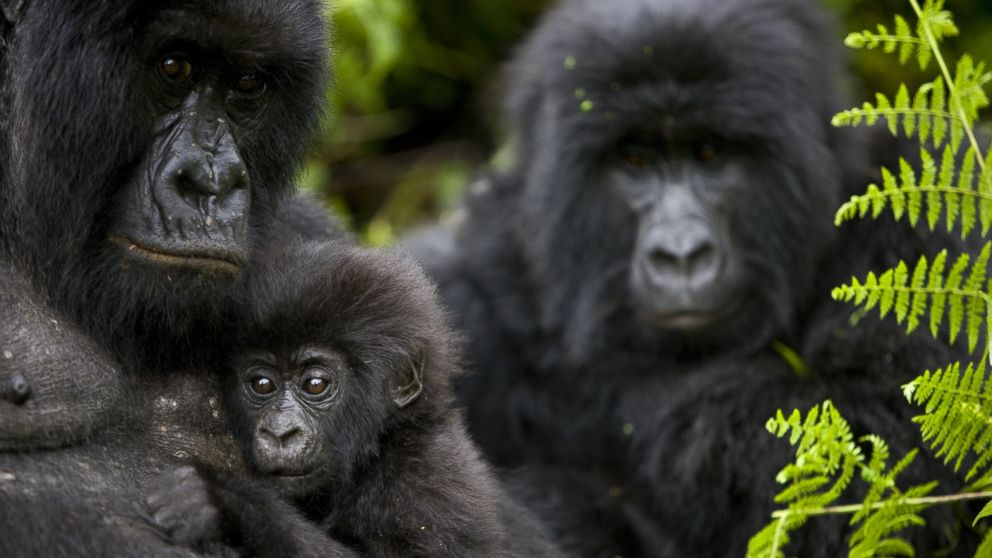 http://a.abcnews.com/images/International/GTY_mountain_gorilla_as_161027_16x9_992.jpg