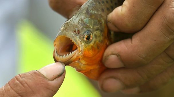 Piranha Attack Swimmers, Bite Off Girls Finger