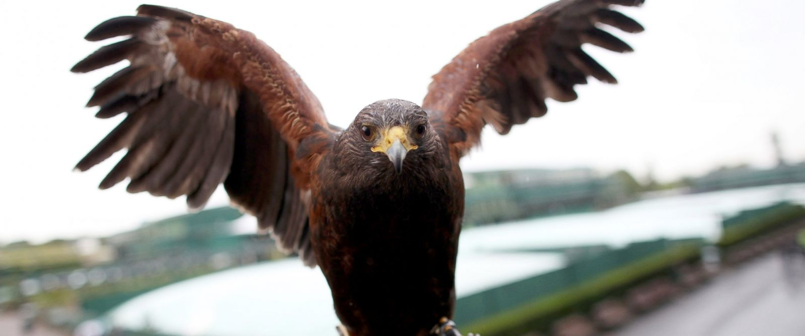 PHOTO: Rufus the Hawk poses for a photograph on day seven of the Wimbledon Lawn Tennis Championships at the All England Lawn Tennis and Croquet Club, July 2, 2012 in London.