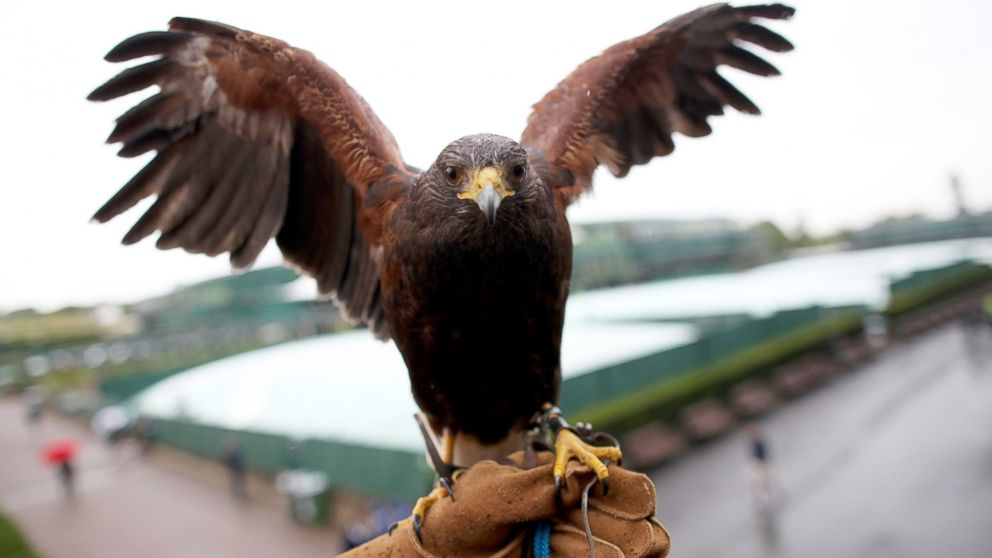 Meet Rufus The Wimbledon Hawk Protecting Tennis From Pigeons Since 2000 Abc News