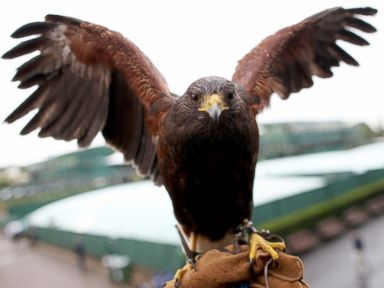 Meet Rufus the Wimbledon Hawk