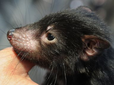 PHOTO: A Tasmanian devil is displayed by wildlife personnel at Martin Place public square in Sydneys central district as Australias zoo and aquarium association celebrate the National Threatened Species Day, Sept. 7, 2012.