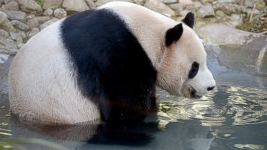 PHOTO: Yang Guang, a giant Panda, sits in his enclosure at Edinburgh Zoo, April 15, 2014, in Edinburgh, Scotland.