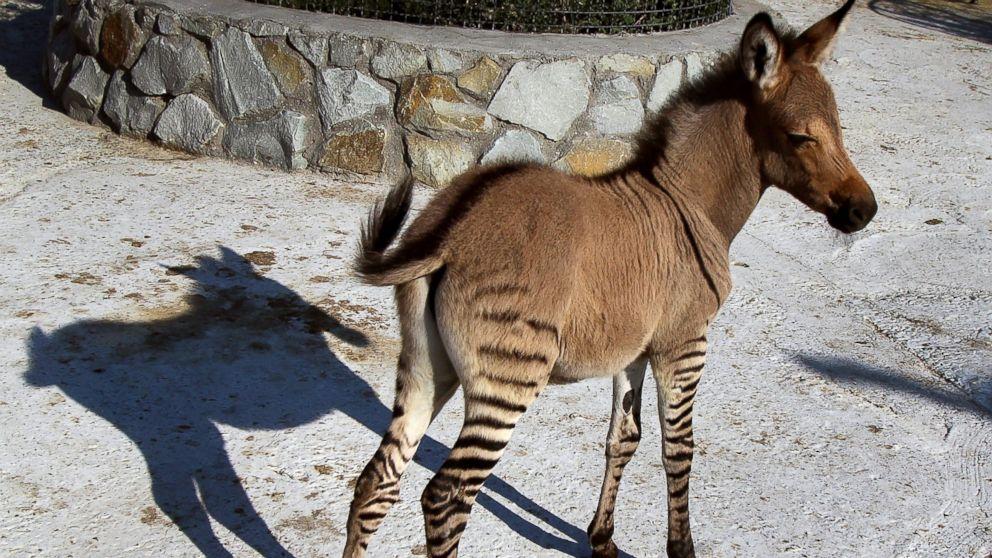 introducing the latest zonkey zebra donkey mix   abc news