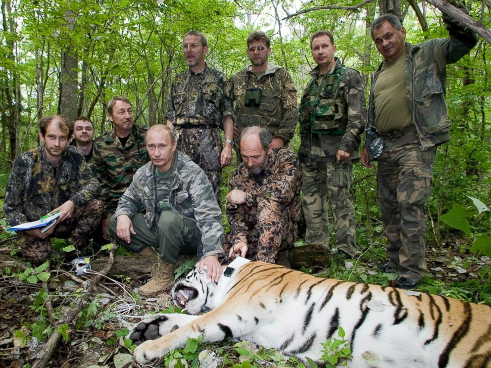 PHOTO: Vladimir Putin is seen in this undated file photo tagging a Siberian Tiger while visiting the Barabash tiger reserve, in eastern Siberia in the Amur Region of the Russian Federation.