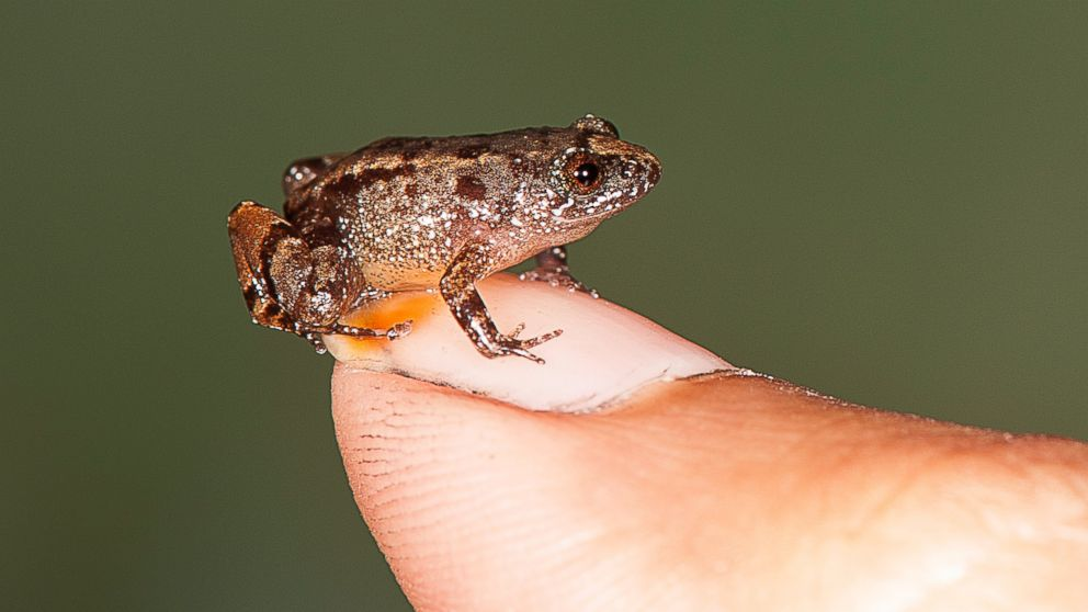 Scientists discover tiny new frogs in India