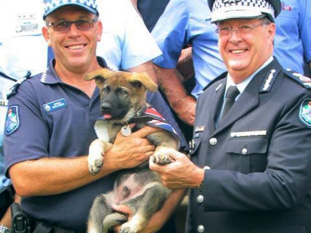 PHOTO: Gavel the German shepherd was given the job of Vice-Regal Dog to the Governor of Queensland after he flunked out of police dog academy for being too friendly.