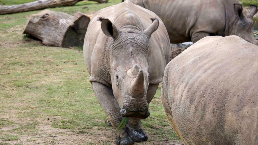http://a.abcnews.com/images/International/HT-rhino-poached-jef-170307_16x9_992.jpg