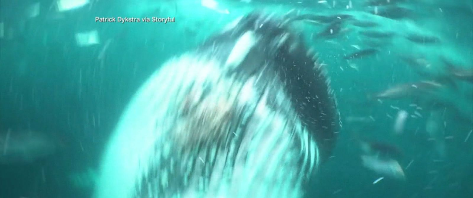 PHOTO: Patrick Dykstra said he had been swimming with orcas in the Barents Sea off the coast of Norway on Nov. 13, 2016, when a humpback whale came within touching distance.