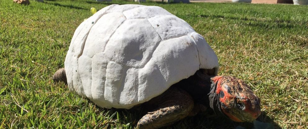 PHOTO: Freddy, a tortoise whose shell was burned in a fire, got a second chance when a Brazilian group called the Animal Avengers made her a new 3D printed custom shell.