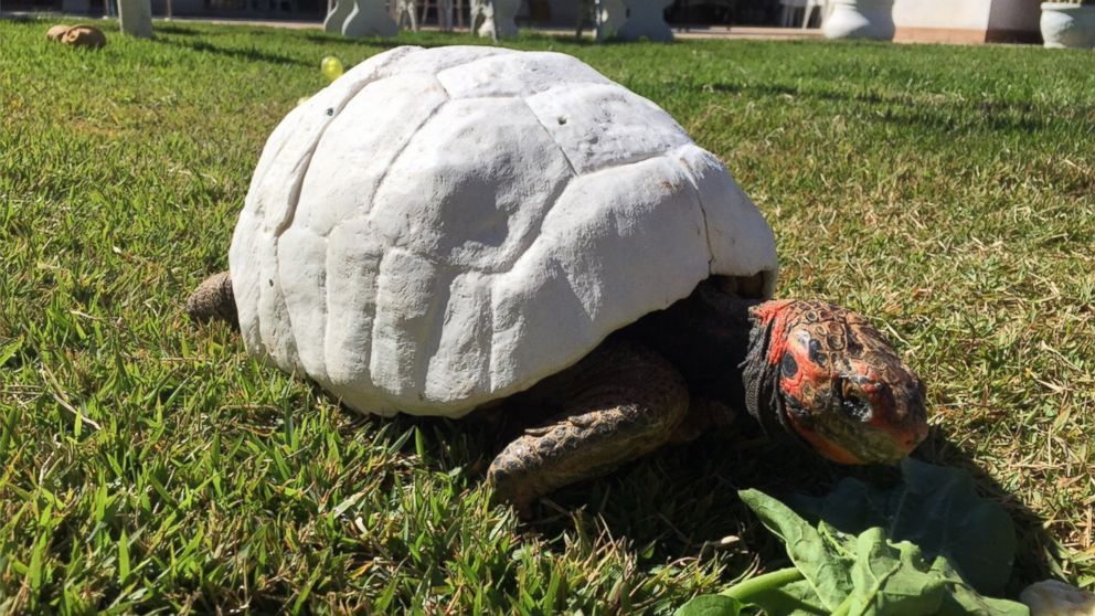Tortoise Burned In Fire Gets Custom DPrinted Shell ABC News - Tortoise gets 3d printed shell