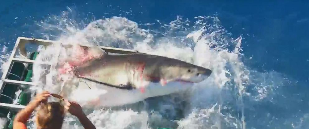 PHOTO: A great white shark was captured on video smashing open a shark cage off the coast of a Mexican island with a diver inside.