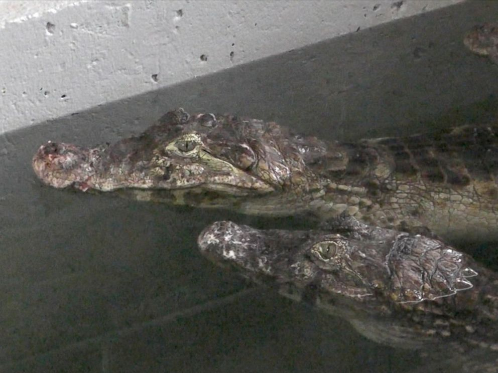 PHOTO: The Indian River Reptile Zoo says it rescued 150 crocodiles, alligators and caimans from a Toronto-area home. He added that the volunteers used four 26-foot-long trucks <a href=
