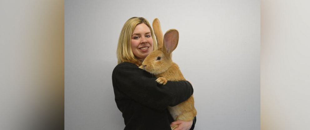 "PHOTO: The Scottish SPCA posted this photo to their twitter account with the caption, ""Atlas, our larger than life rabbit, needs a new home,"" on Feb. 8, 2016."