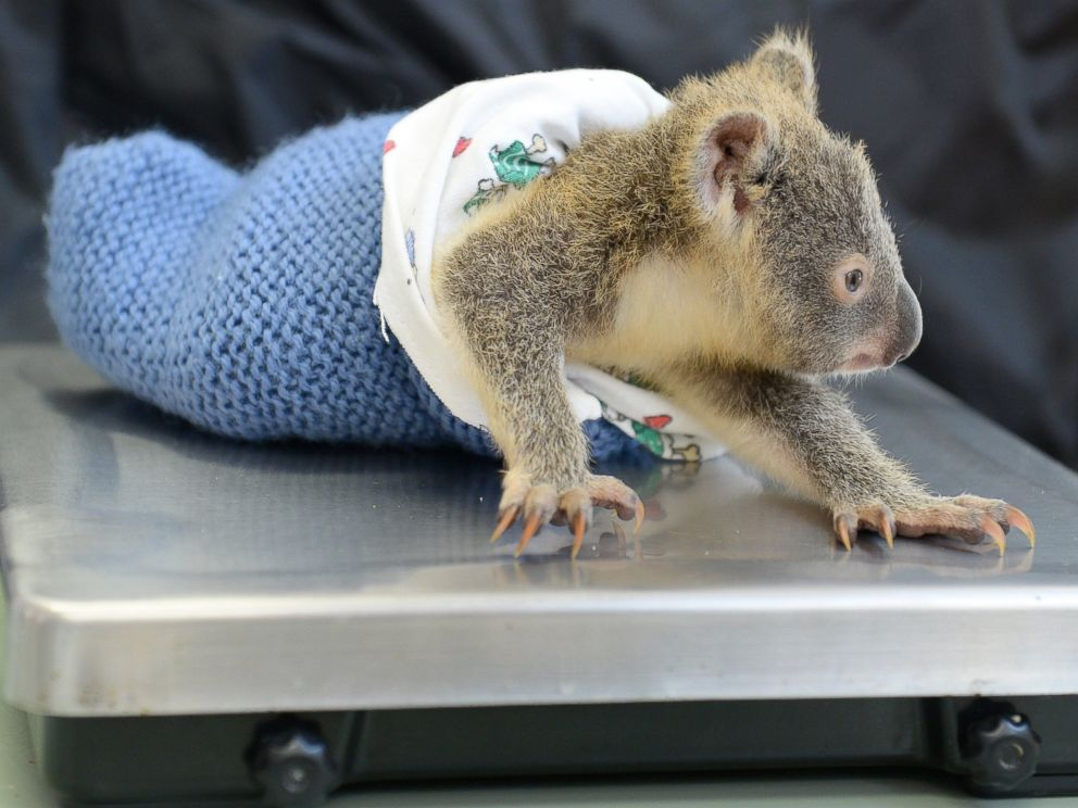 PHOTO: Phantom the koala joey is seen here during his moms Lizzy recent treatment at the Australia Zoo Wildlife Hospital.