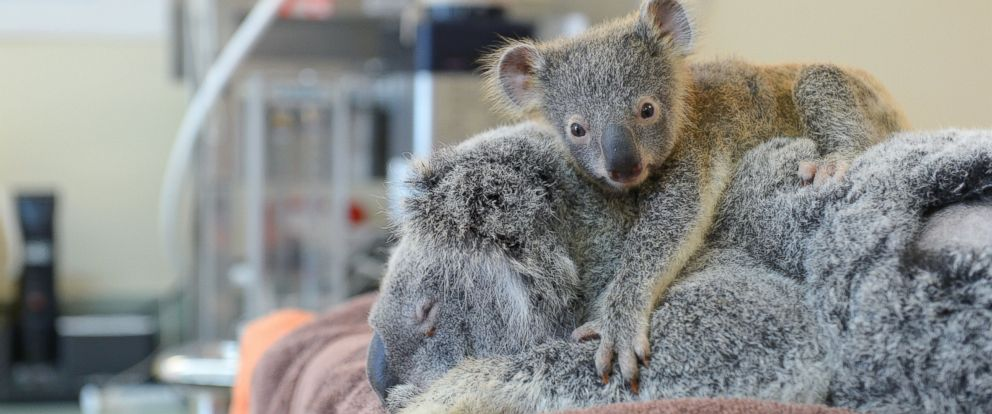 PHOTO: Phantom the koala joey cuddles his mom Lizzy during her recent treatment at the Australia Zoo Wildlife Hospital.