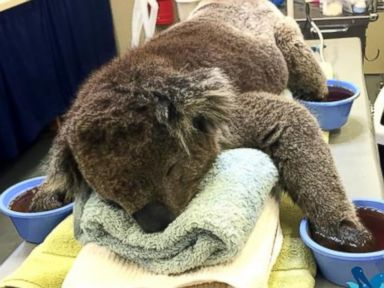 PHOTO: Jeremy the koala, pictured here, received burn treatment for his paws under the Australian Marine Wildlife Research and Rescue Organisation.