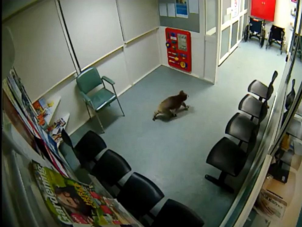 PHOTO: A koala wandered into an Australian hospital waiting room.