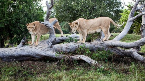 http://a.abcnews.com/images/International/HT_lion_park_sk_150601_16x9_608.jpg