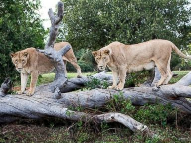 PHOTO: Two unidentified lionesses are pictured at The Lion Park in Johannesburg, Aug. 20, 2014.