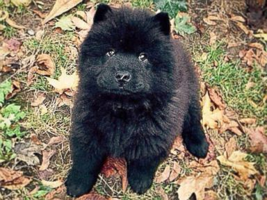 PHOTO: Misiu Green, 3-month-old Chow Chow puppy, is seen in this photo posted to Instagram on Oct. 16, 2014 with the caption, Please sir, can I have some more #please.