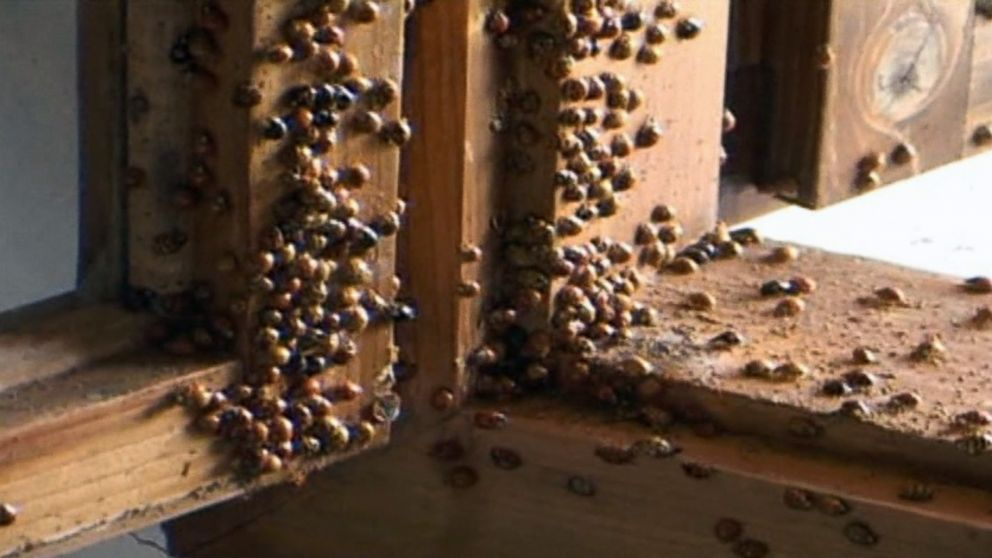 these swarming lady bugs take over towns to residents